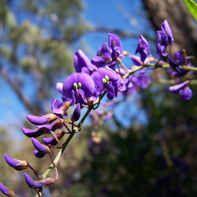 Hardenbergia comptoniana Espèce type