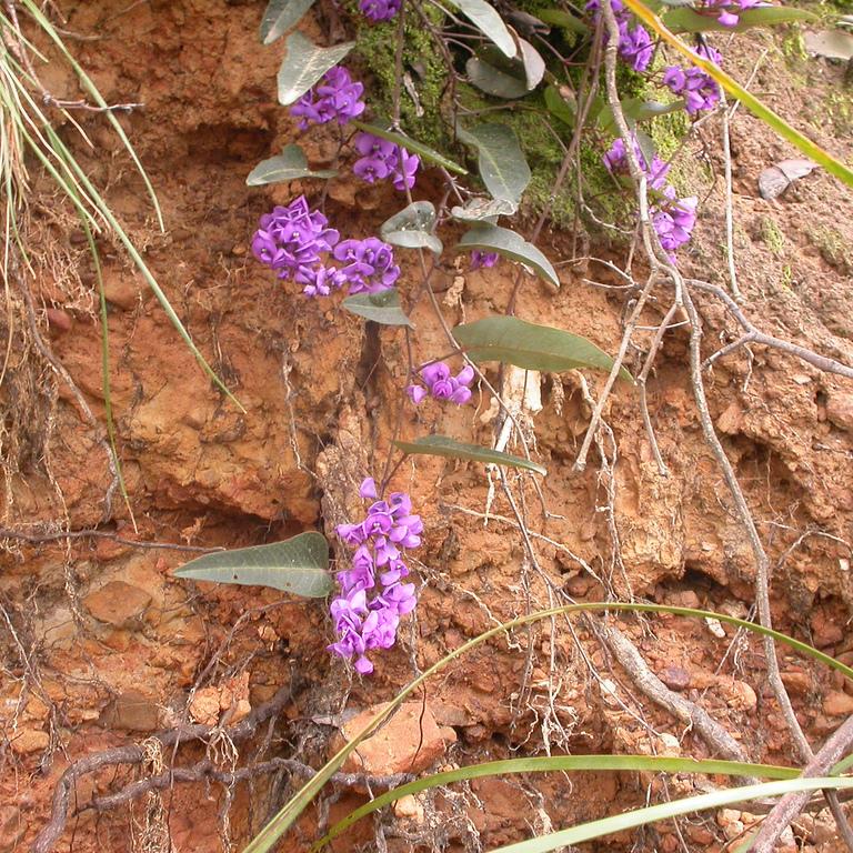 Hardenbergie violacée, salsepareille australienne (Hardenbergia violacea) Espèce type