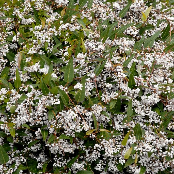 Hardenbergie violacée, salsepareille australienne (Hardenbergia violacea) 'Alba'