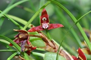 Culture et entretien des <em>Maxillaria</em>