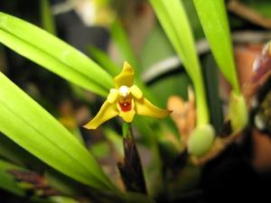 Multiplication des <em>Maxillaria</em>