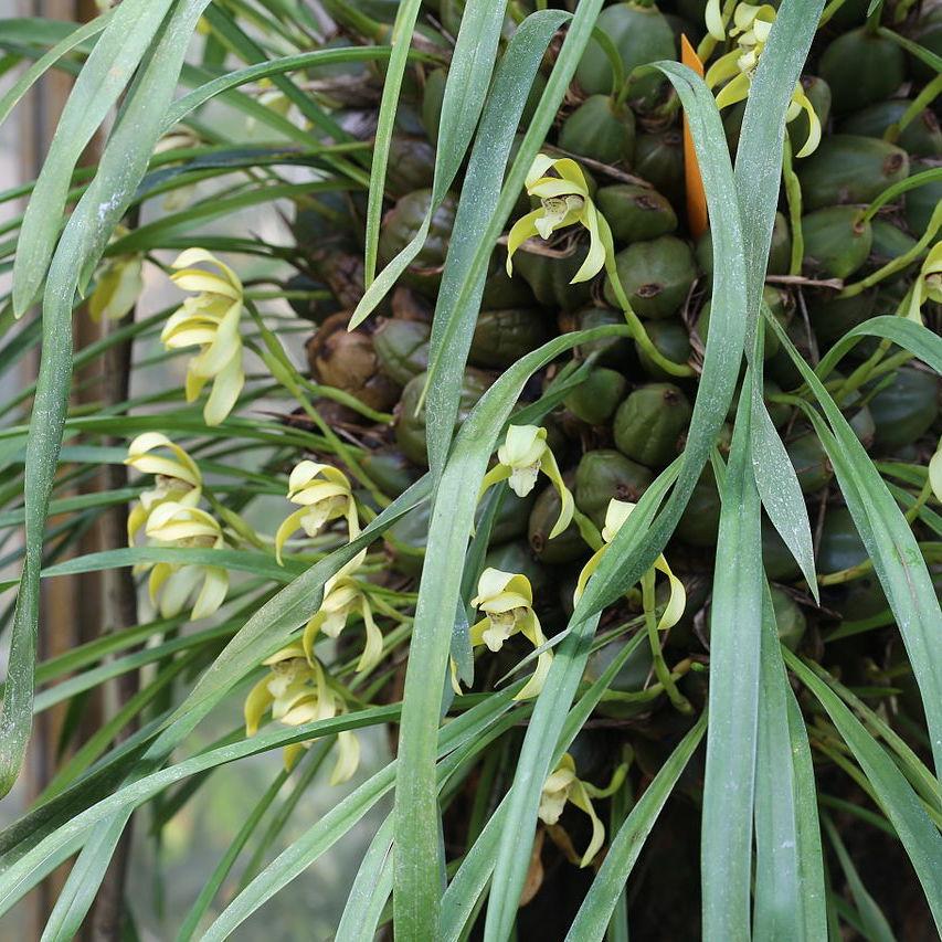 Maxillaria porphirostele