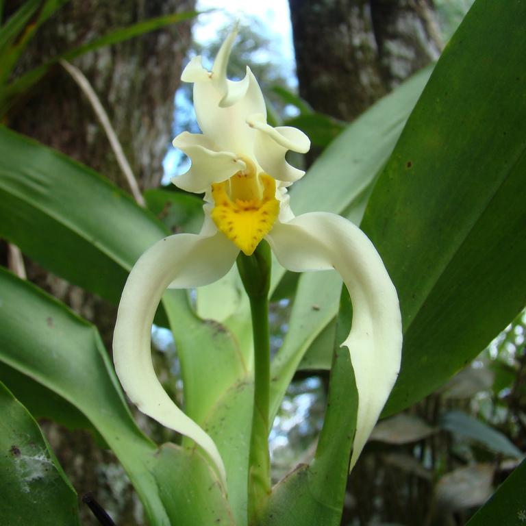 Maxillaria luteo-alba