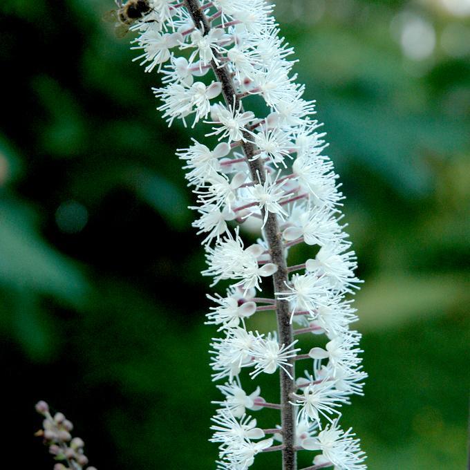 Actaea racemosa Actée à grappes