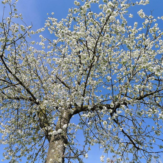 Merisier, cerisier des oiseaux (Prunus avium)