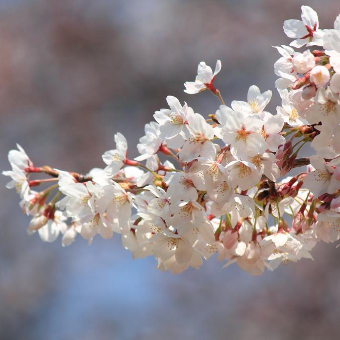 Griottier (Prunus cerasus)