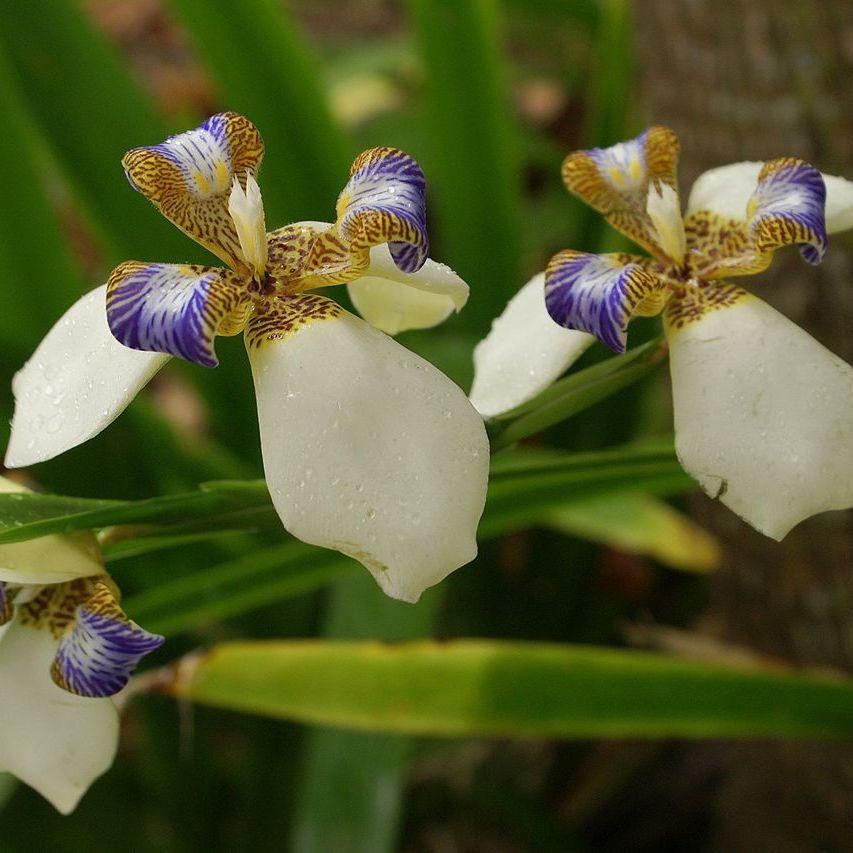 Iris marcheur, orchidée du pauvre (Neomarica gracilis)