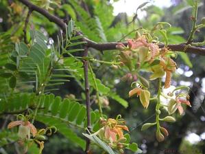 Plantation du tamarinier