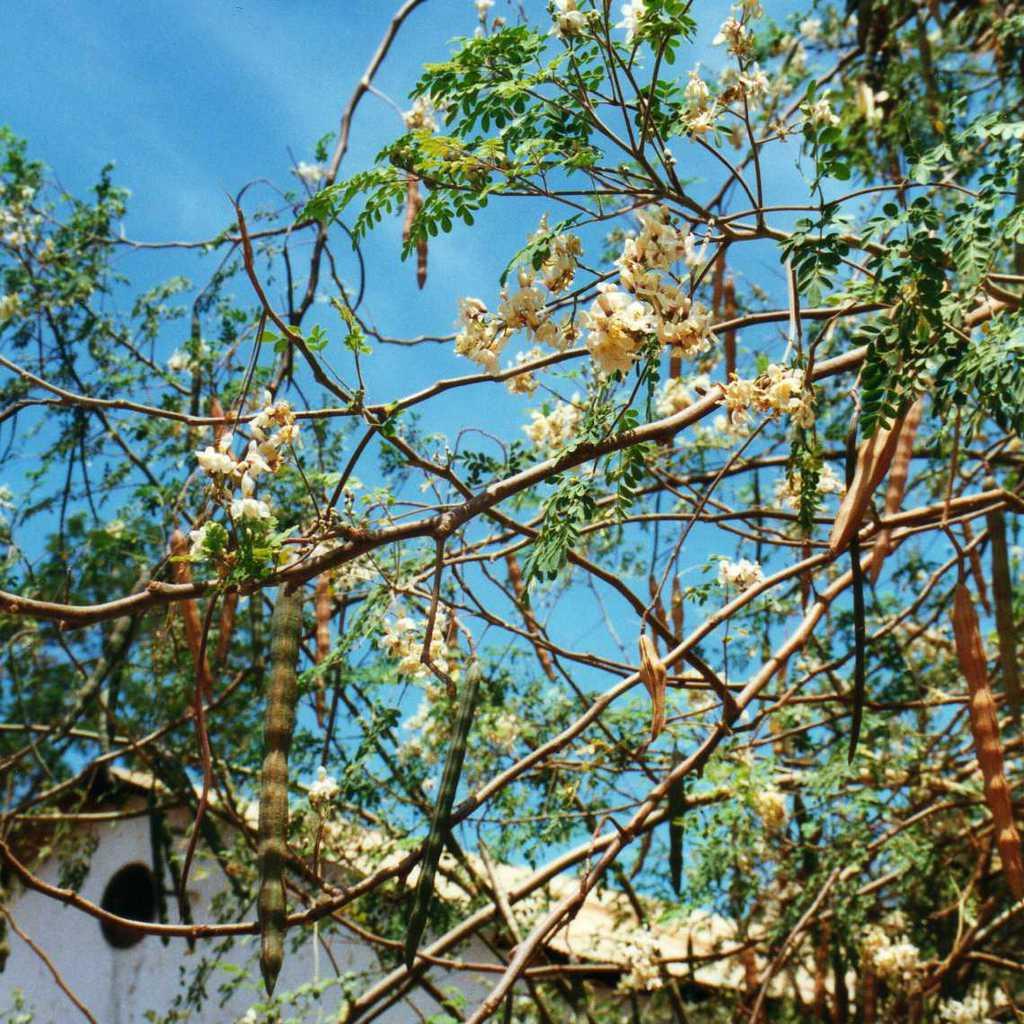 Tamarinier d'Inde (Tamarindus indica)