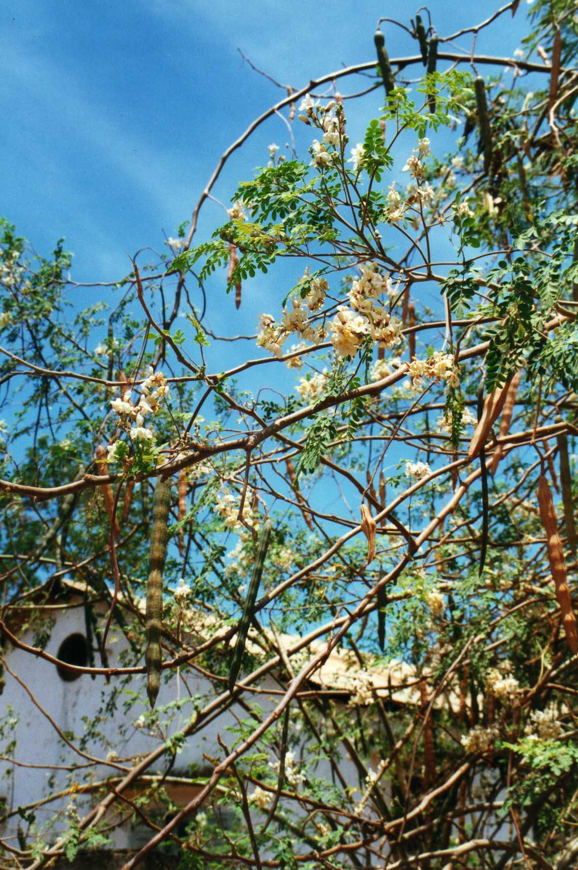 Faire Germer Un Marron D Inde tamarinier : planter et cultiver – ooreka