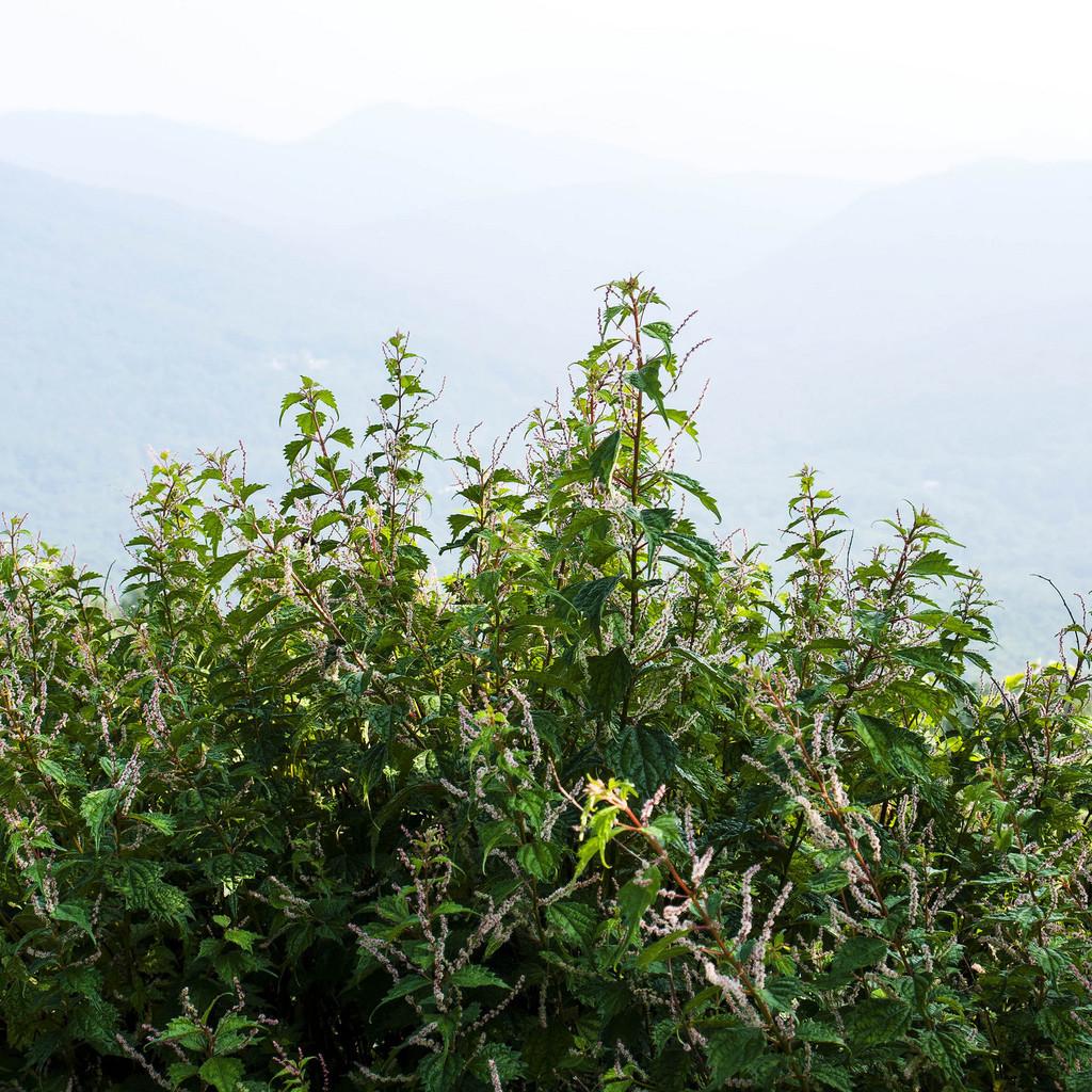 Vivace Boehmeria platanifolia
