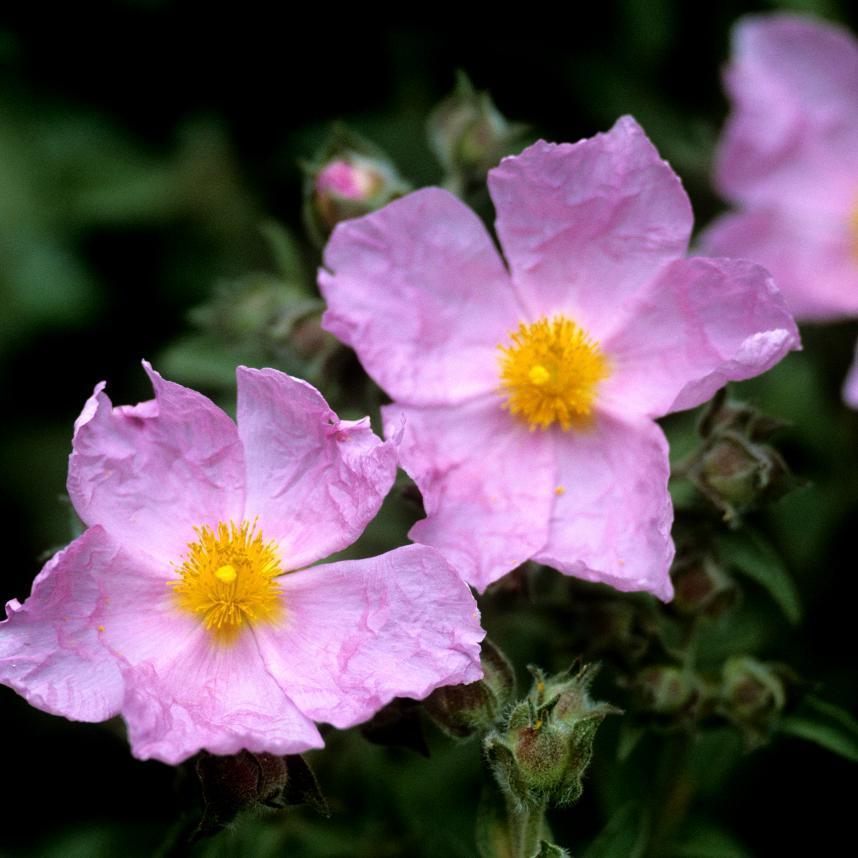 Cistes à fleurs colorées Ciste argenté 'Silver pink' (Cistus argenteus)