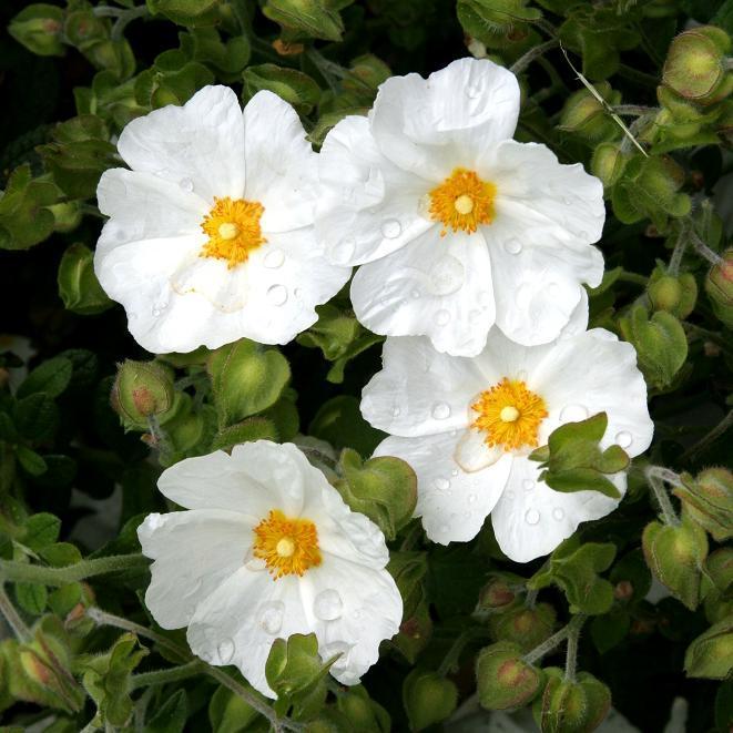 Cistes à fleurs blanches Ciste des Corbières (Cistus x hybridus var. corbariensis)