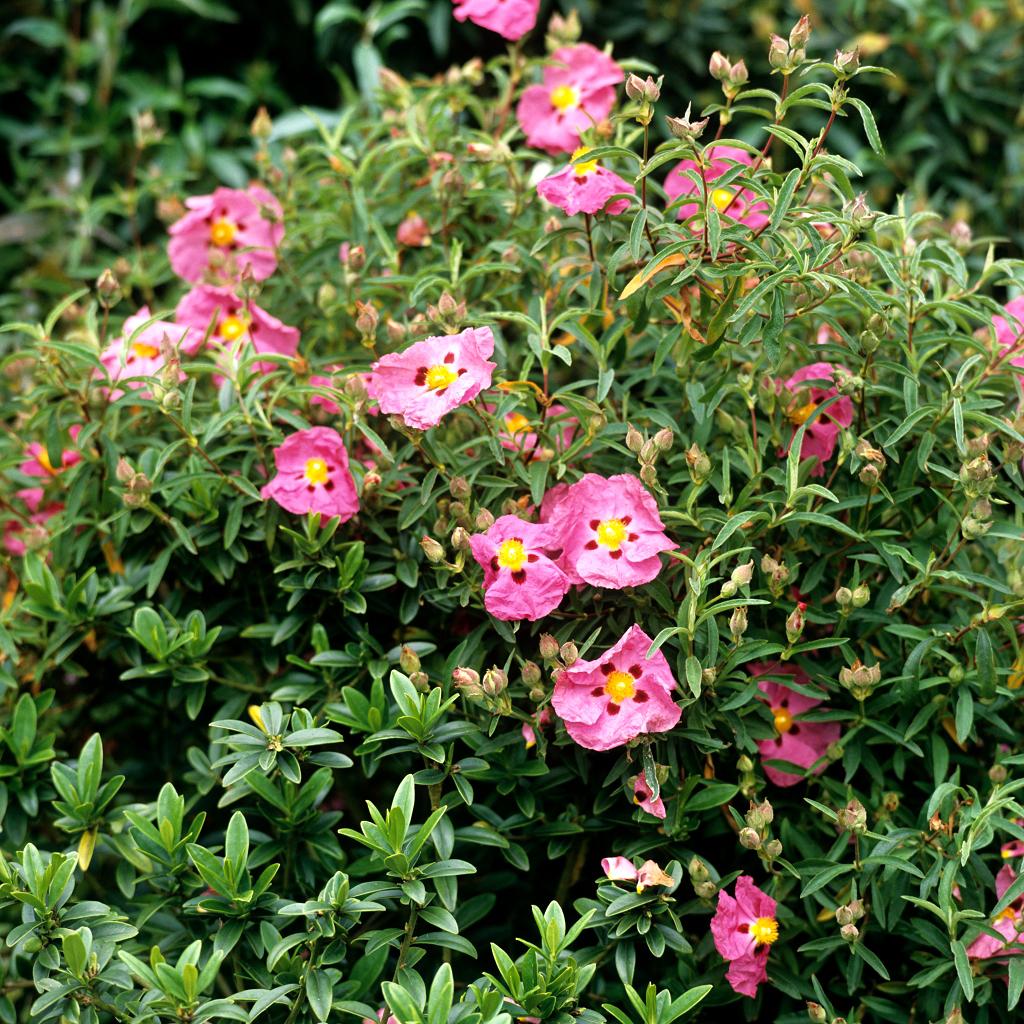 Cistes à fleurs colorées Ciste pourpre (Cistus x purpureus)