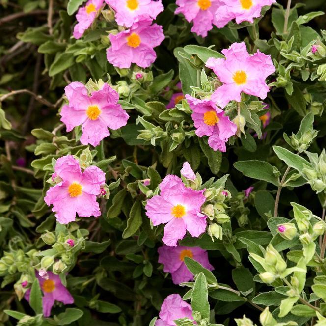 Cistes à fleurs colorées Ciste cotonneux (Cistus albidus)