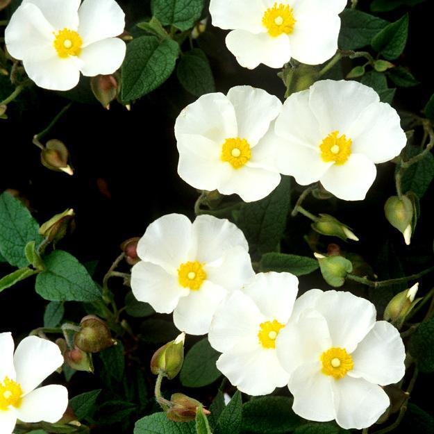 Cistes à fleurs blanches Ciste florentin (Cistus x florentinus)