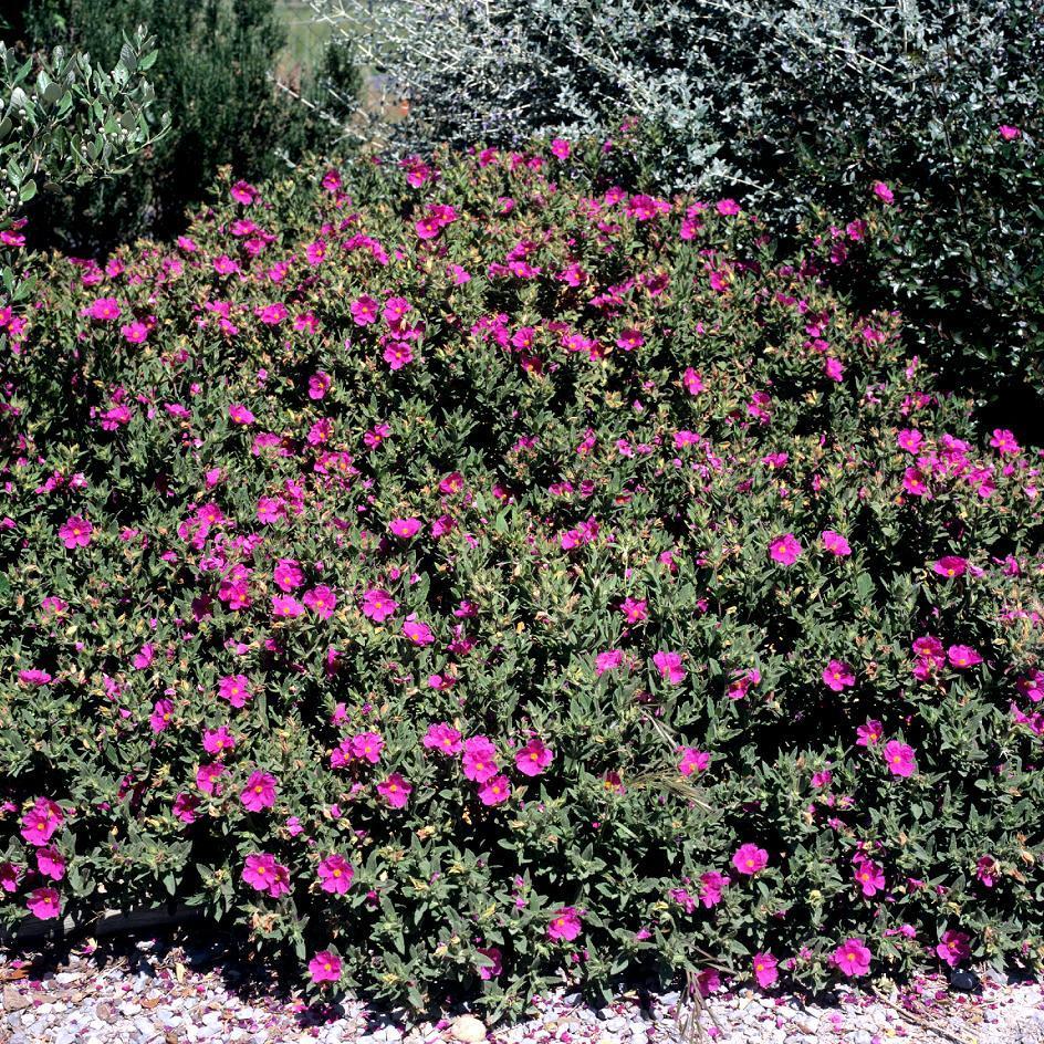 Cistes à fleurs colorées Ciste pulvérulent (Cistus x pulverulentus)