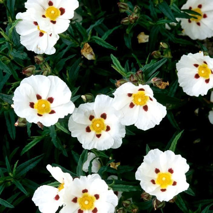 Cistes à fleurs blanches Ciste ladanifère (Cistus ladanifer)