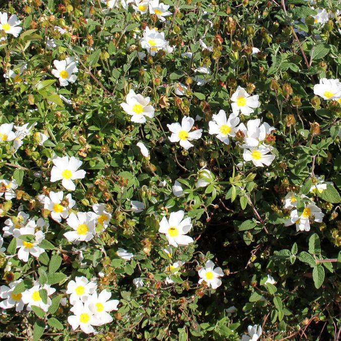 Cistes à fleurs blanches Ciste à feuilles de sauge (Cistus salviifolius)