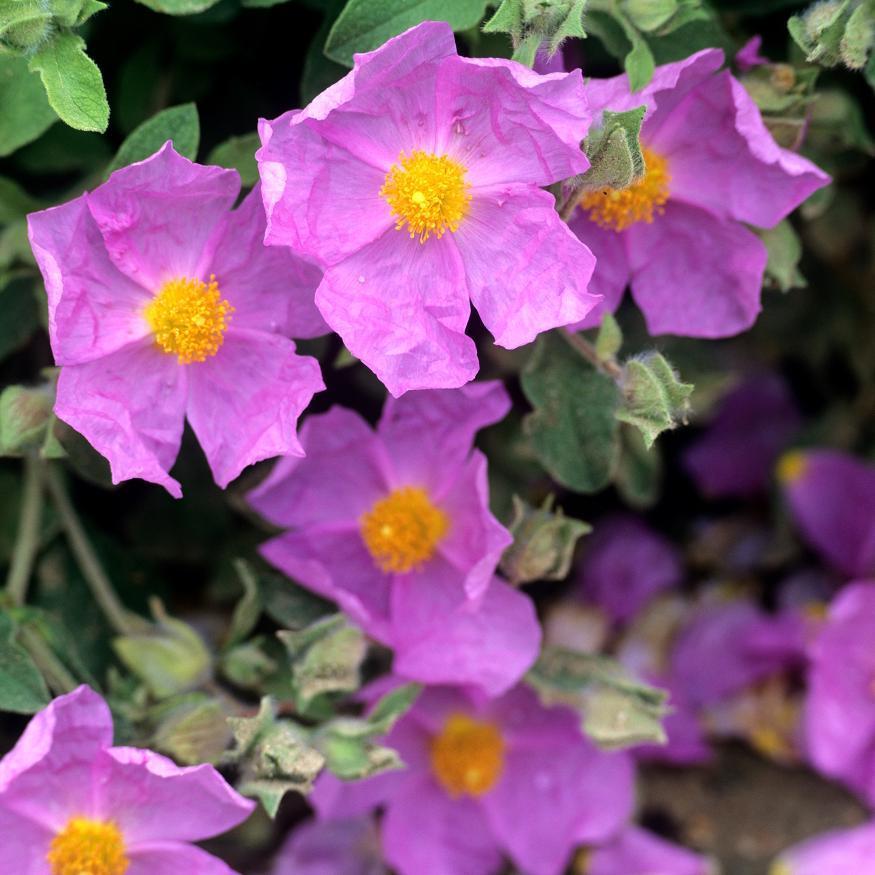 Cistes à fleurs colorées Ciste de Crète (Cistus creticus)