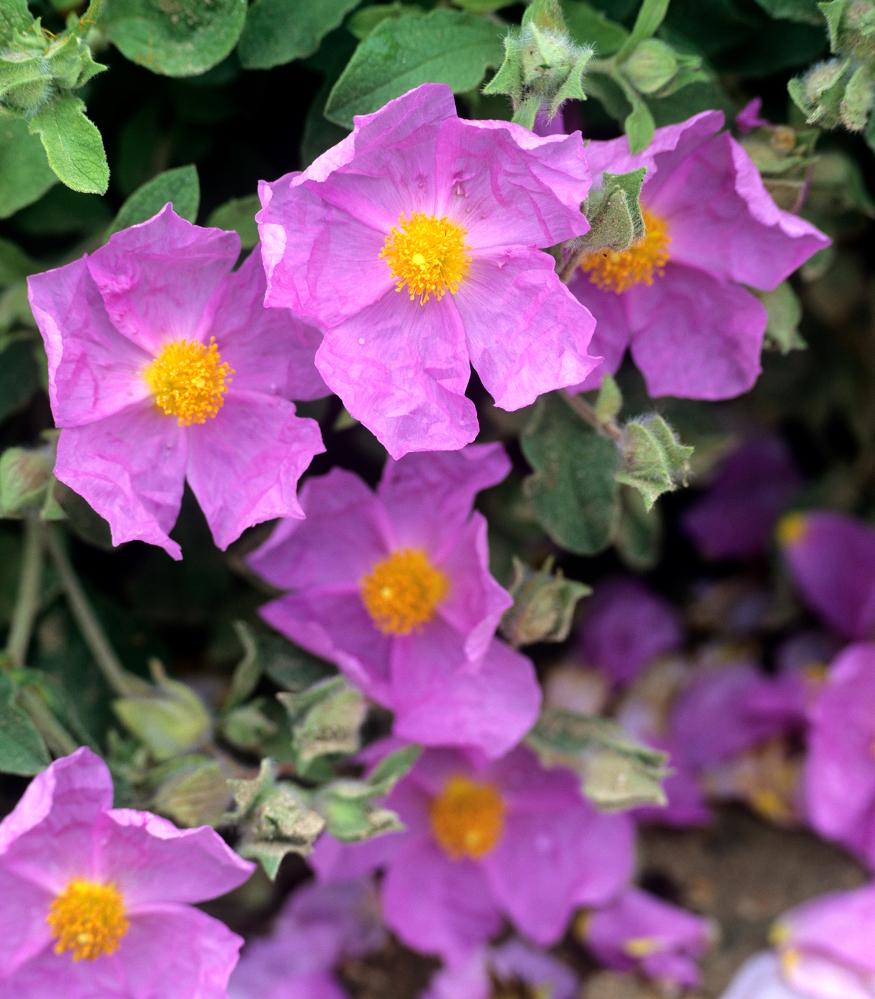 Ciste planter et entretenir ooreka for Plants de fleurs