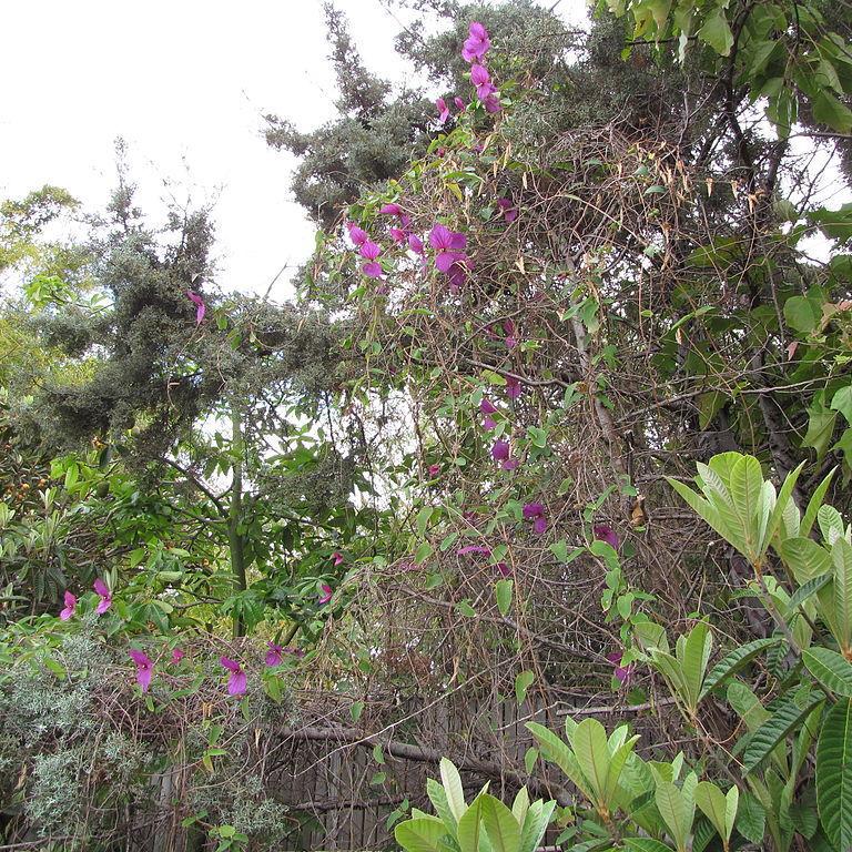 Dalechampia dioscoreifolia