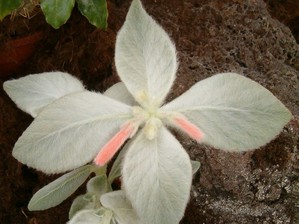 Plantation du <em>Sinningia leucotricha</em>