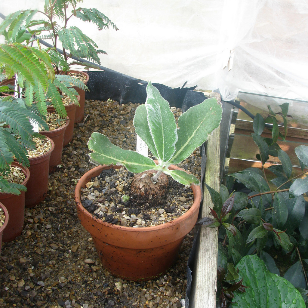 Espèces types Edelweiss du Brésil (Sinningia leucotricha)