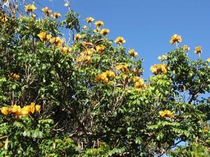 Plantation de tulipier du Gabon