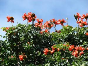 Culture et entretien de tulipier du Gabon