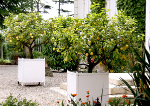 Plantation du citronnier