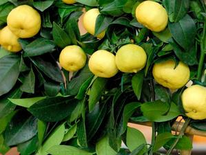 Multiplication du citronnier