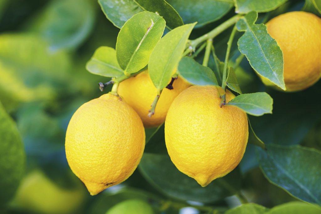 citronnier : planter et entretenir – ooreka