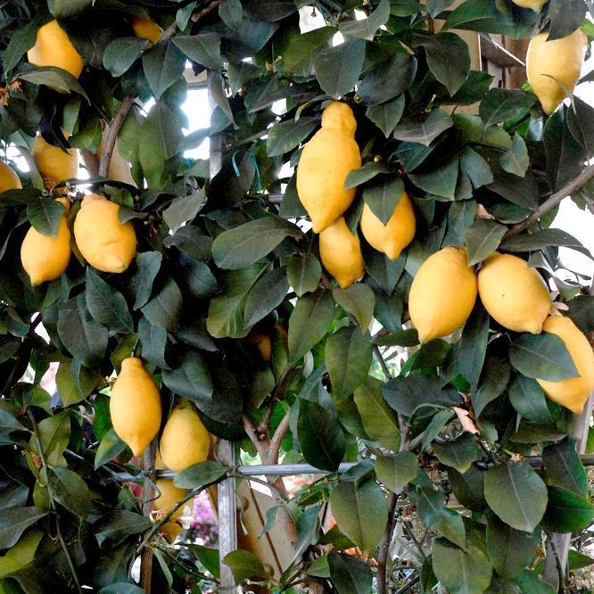 Citronniers proposés pour le jardin Citrus limon 'Euréka' (syn. 'Des Quatre Saisons')