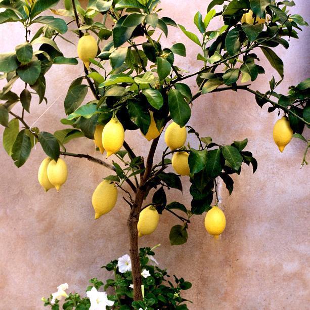 Citronniers proposés pour le jardin 'Meyer'