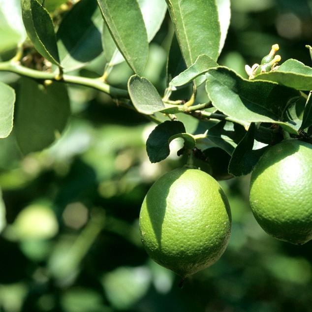 Citronniers proposés pour le jardin 'La Valette'
