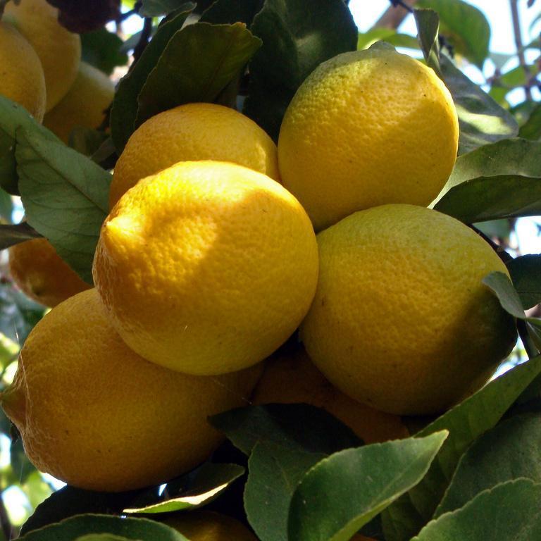 Citronniers proposés pour le jardin 'Malaga'