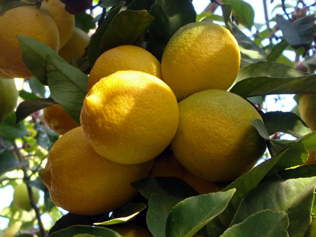Comment Cultiver Un Citronnier En Pot citronnier : planter et entretenir – ooreka