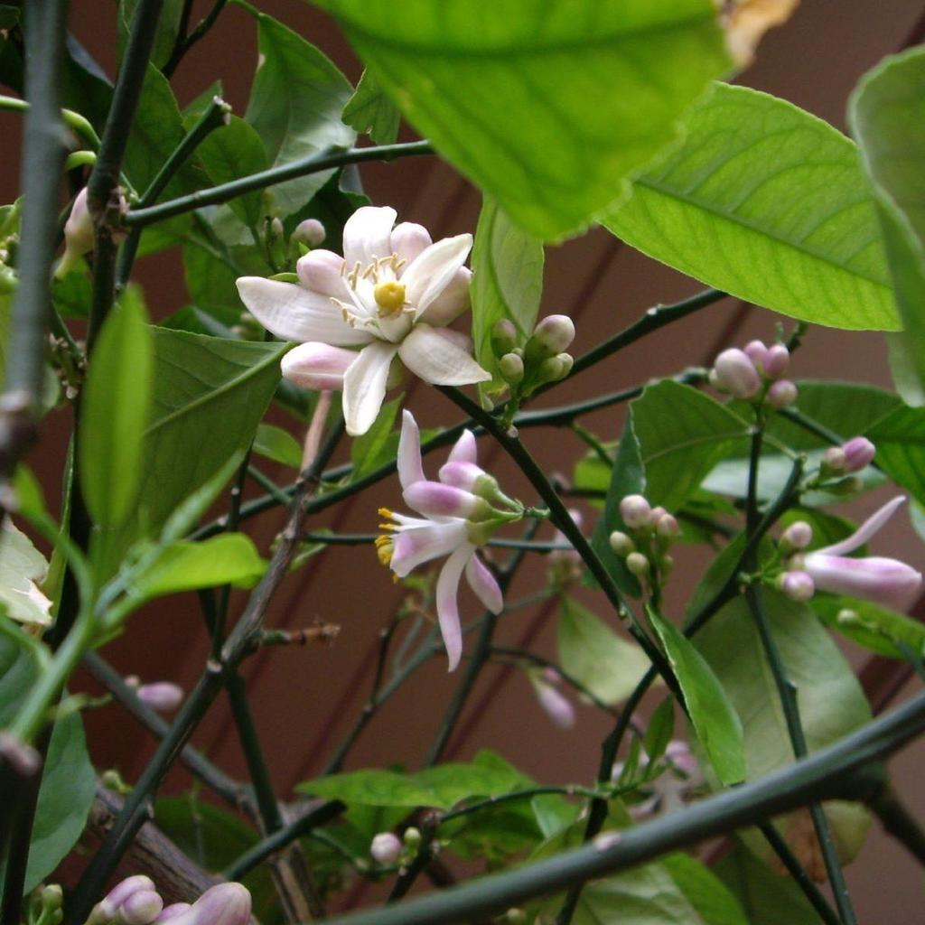 Citronniers pour l'agriculture 'Verna'