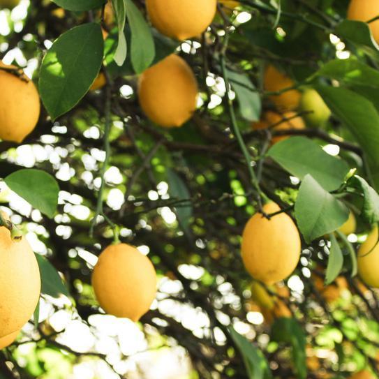 Citronniers pour l'agriculture 'Fino' (syn. 'Primofiori')