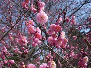 Plantation de l'abricotier du Japon