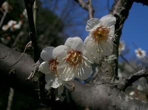 Culture et entretien de l'abricotier du Japon