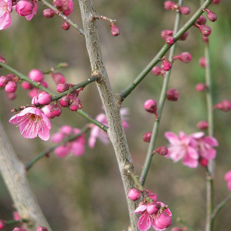 Abricotier du Japon (Prunus mume) 'Beni Chidori'