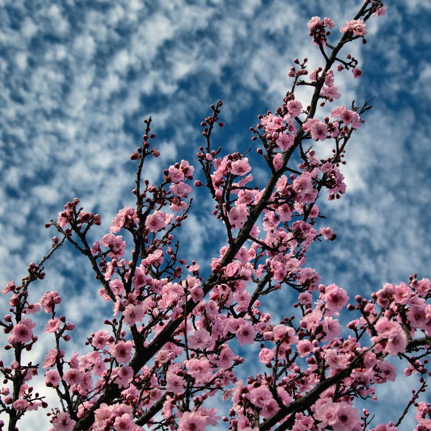 Abricotier du Japon (Prunus mume) Espèce type