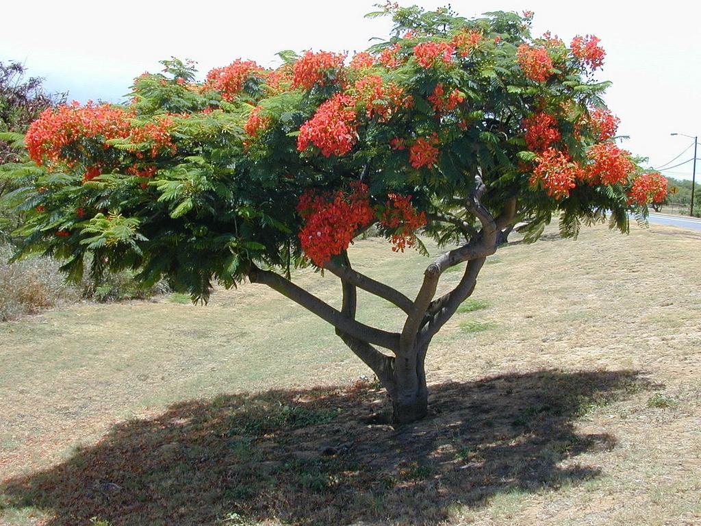 Arbre Persistant En Pot flamboyant : planter et entretenir – ooreka
