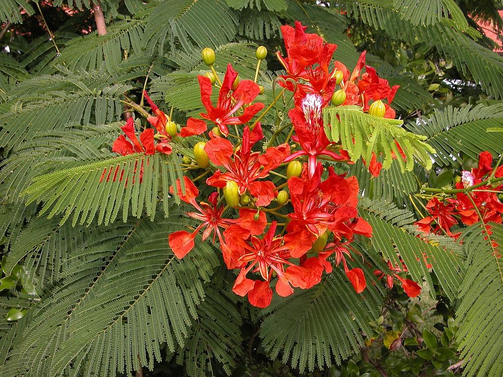 Flamboyant : planter et entretenir – Ooreka