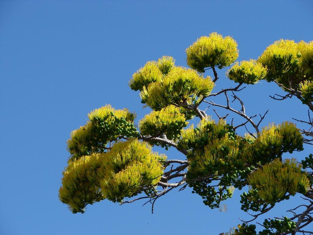 Flamboyant planter et entretenir ooreka for Plante 150 maladies madagascar