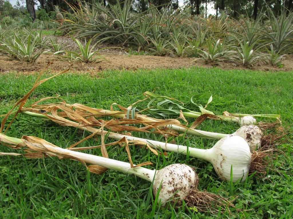 Ail l phant planter et entretenir ooreka - Recolte de l ail ...