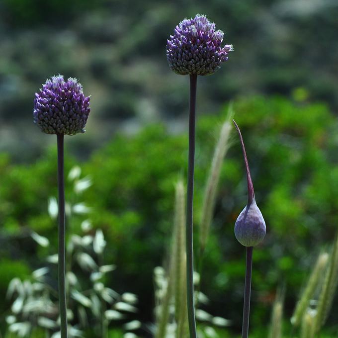 Ail éléphant (Allium ampeloprasum var. ampeloprasum)