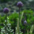 Ail éléphant (<em>Allium ampeloprasum </em>var. <em>ampeloprasum</em>)